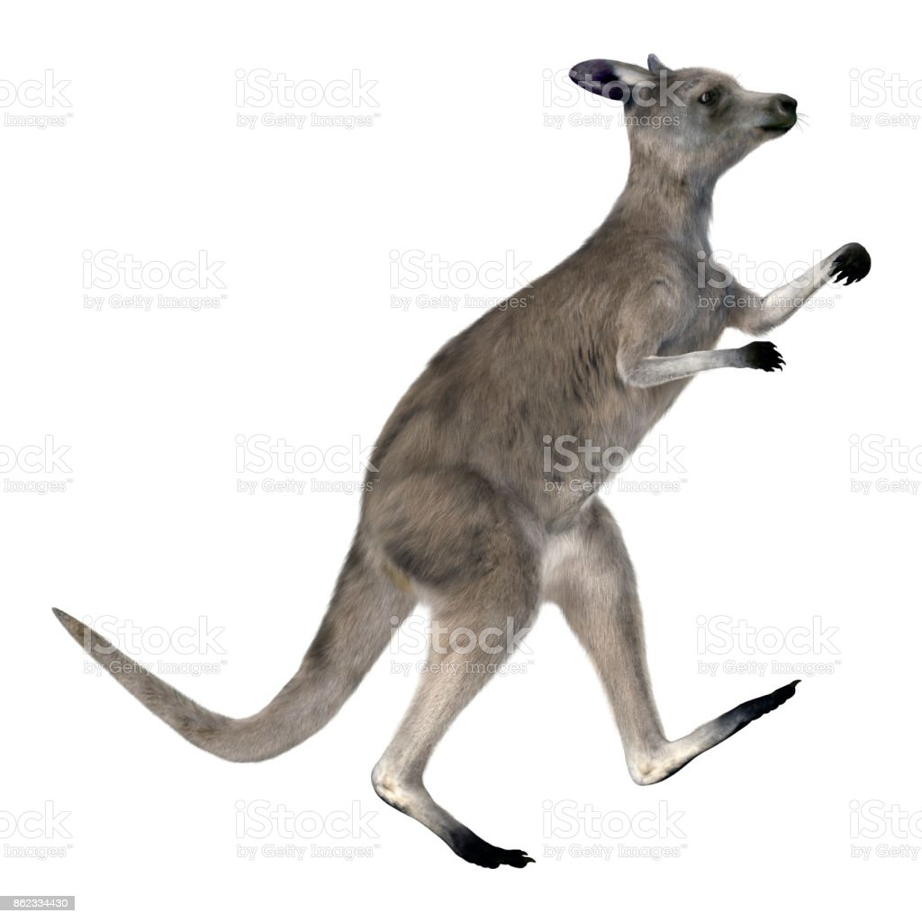 3D rendering great grey kangaroo on white stock photo