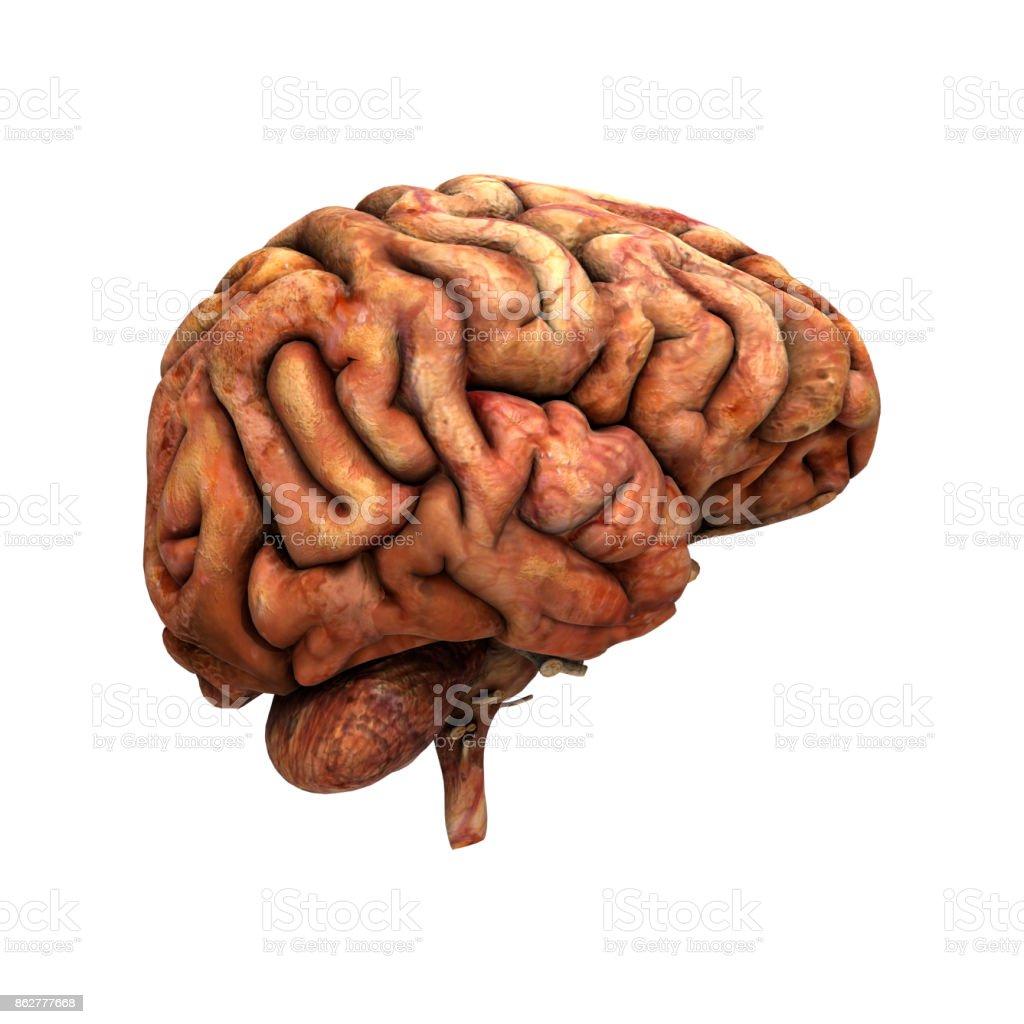 3D rendering human brain on white stock photo