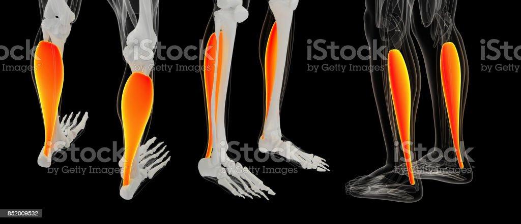 3D rendering illustration of Muscular Soleus stock photo