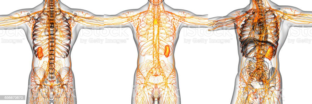 3d Rendering Illustration Of The Lymphatic System Stock Photo More