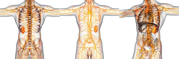 3D-Rendering Abbildung des lymphatischen Systems – Foto