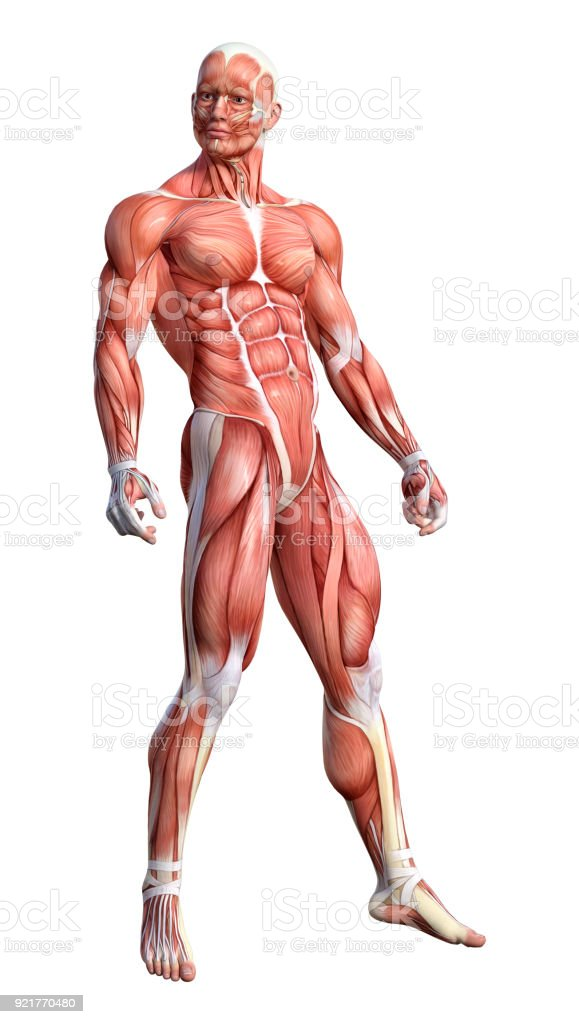 3D rendering male anatomy figure on white stock photo
