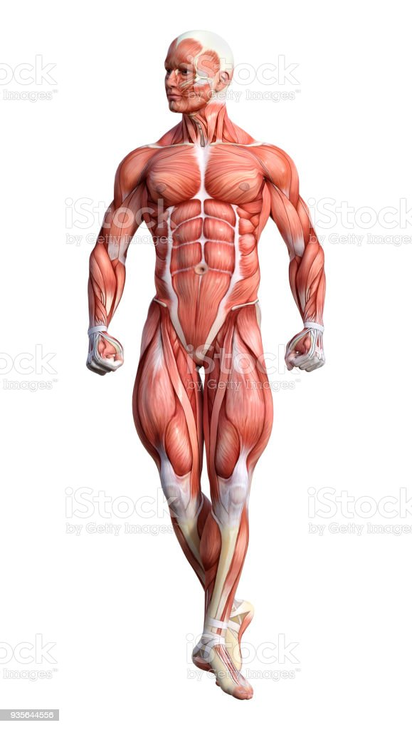 3d Rendering Male Anatomy Figure On White Stock Photo More
