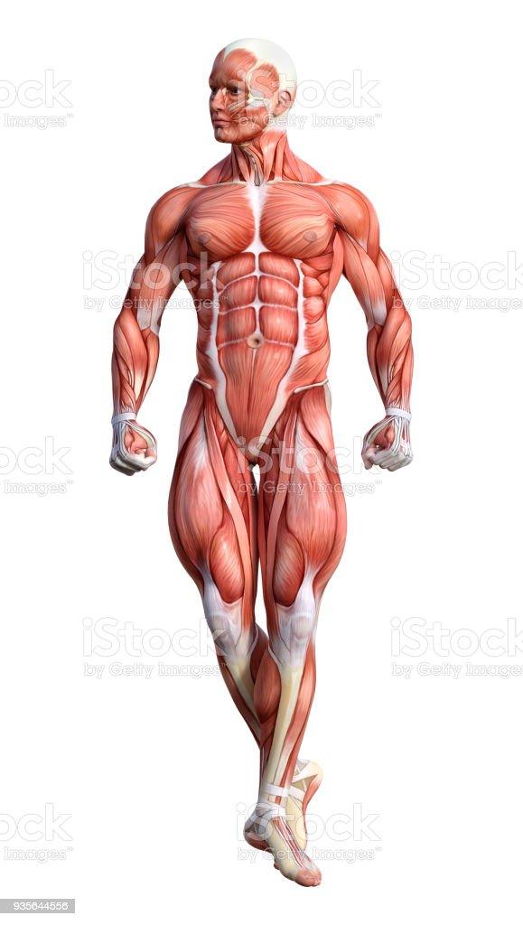 Fotografía de Render 3d Anatomía Masculina Figura En Blanco y más ...