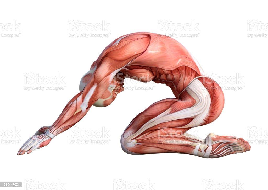 3d Rendering Male Anatomy Figure With Muscles Map Exercising Yoga On on yoga energy, yoga international, yoga back, yoga stretches, yoga adrenal glands, yoga leg workout, yoga history, yoga skin, yoga peace, yoga anatomy, yoga strength, yoga mind, yoga bones,
