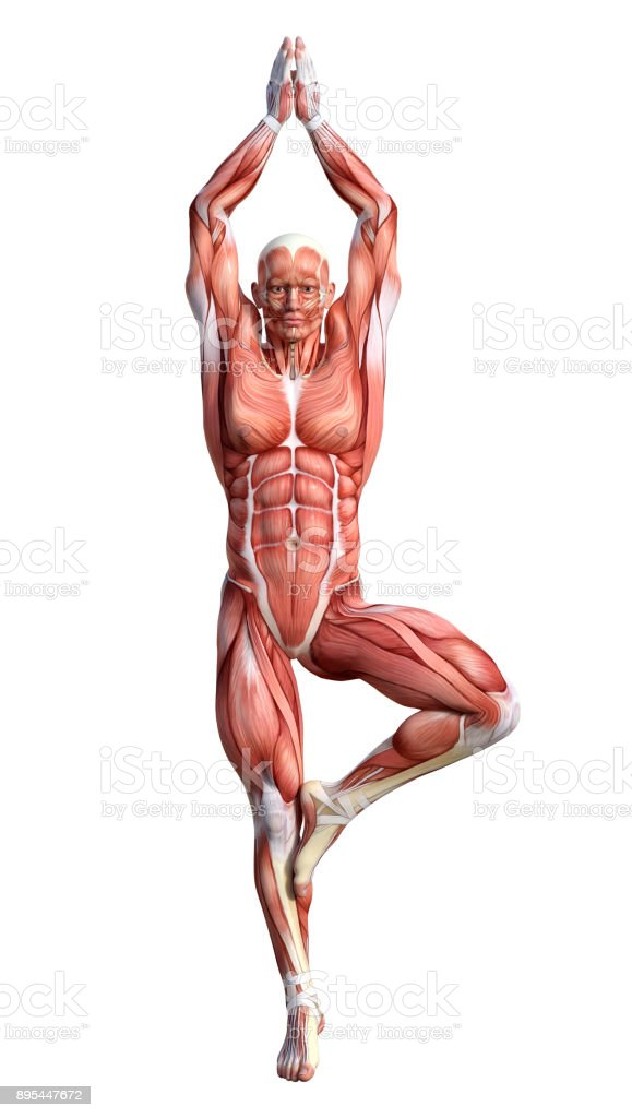 3d Rendering Male Anatomy Figure With Muscles Map Exercising Yoga On