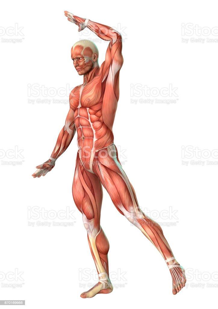 Fotografía de Figura De Anatomía Masculina De Renderizado 3d Con El ...