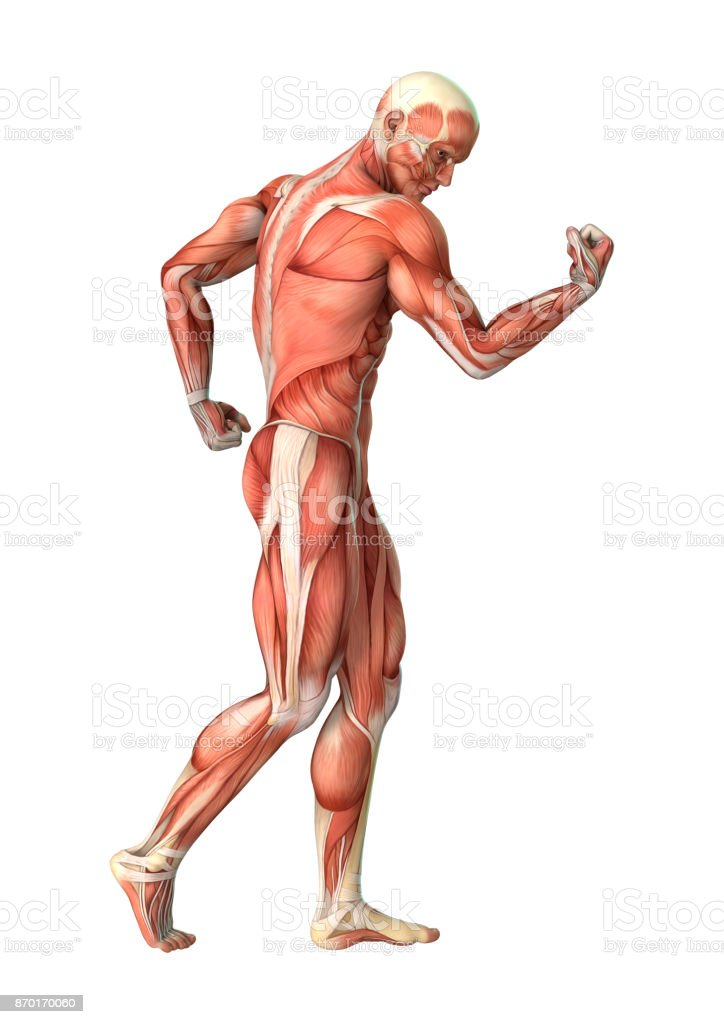 3D rendering male anatomy figure with muscles map on white stock photo