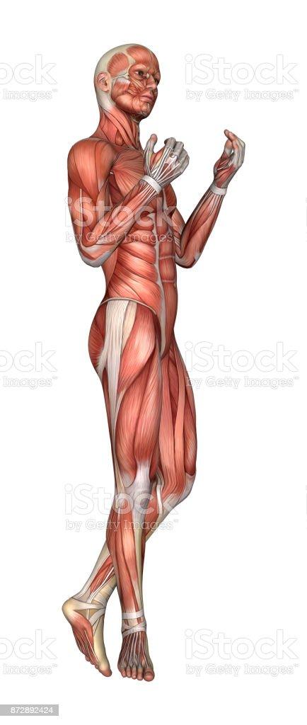 3drendering Männlichen Anatomie Abbildung Mit Muskeln Karte Auf Weiß ...