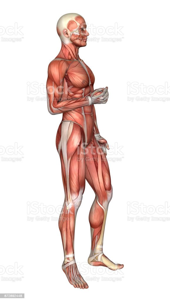 3d Rendering Male Anatomy Figure With Muscles Map On White Stock