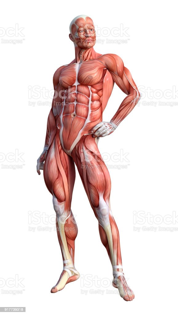 3d Rendering Male Anatomy Figure With Muscles Map On White Stock ...