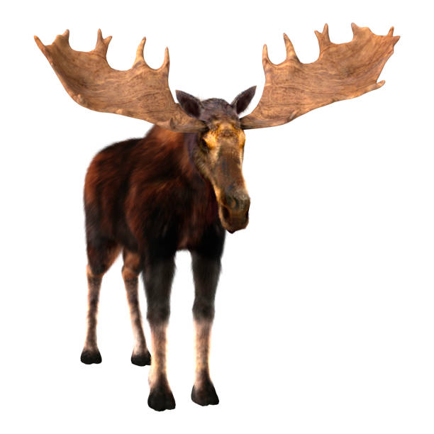 3D Rendering Male Moose on White stock photo