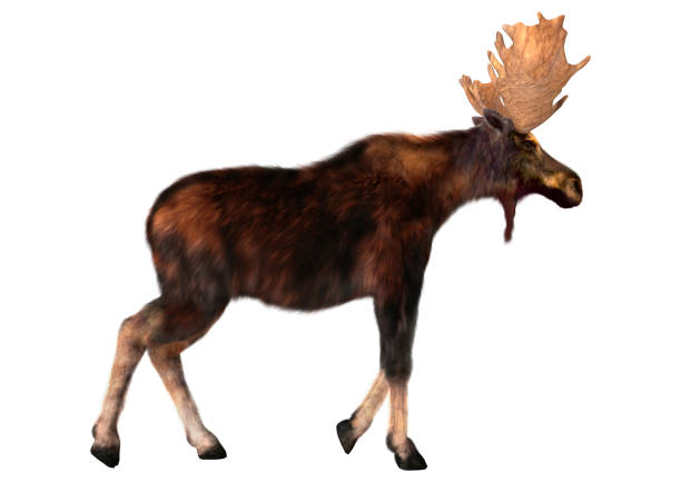 Rendering male moose on white picture id851717132?b=1&k=6&m=851717132&s=612x612&w=0&h=q61y qccpfcwb4vsf9ch1by6sxckskwvugcaagxjtki=