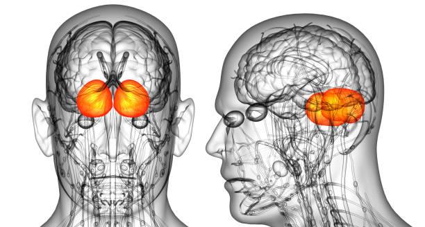 3D-Rendering medizinische Illustration des menschlichen Gehirns Großhirns – Foto