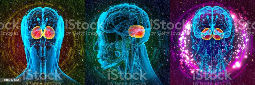 3D rendering medical illustration of the human brain cerebrum stock photo