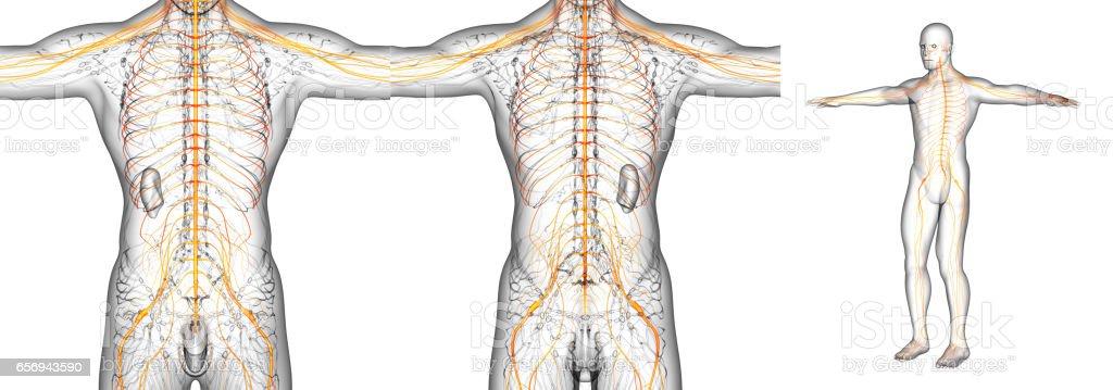3D rendering medical illustration of the nerve system stock photo