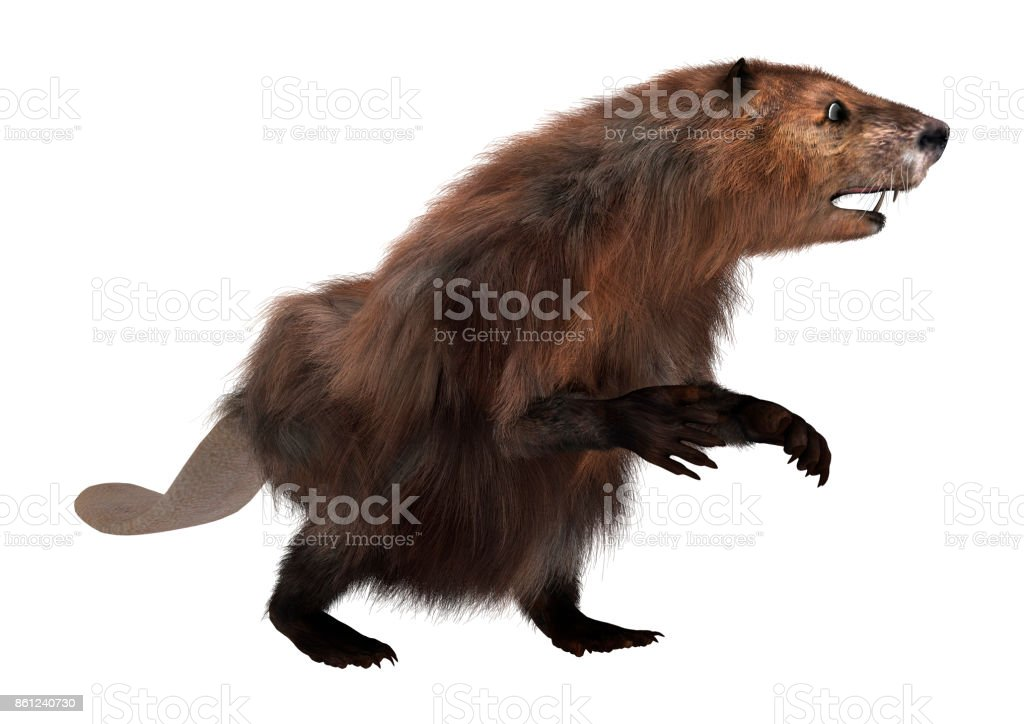 3D rendering North American beaver on white stock photo