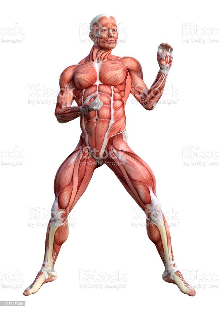 3drendering Einer Männlichen Anatomie Figur Auf Weiß Stock ...