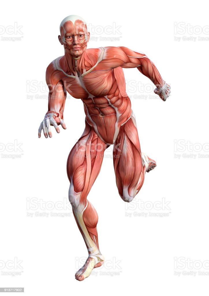 3d Rendering Of A Male Anatomy Figure On White Stock Photo & More ...