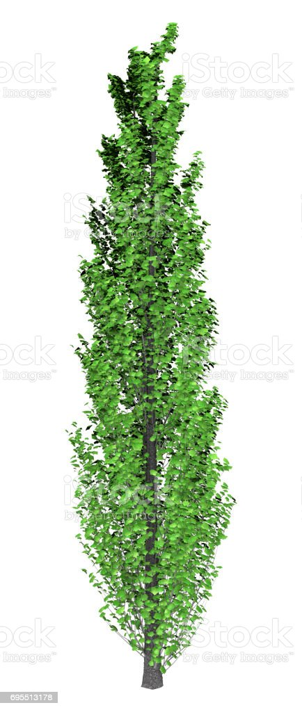 3D Rendering Poplar Tree on White stock photo