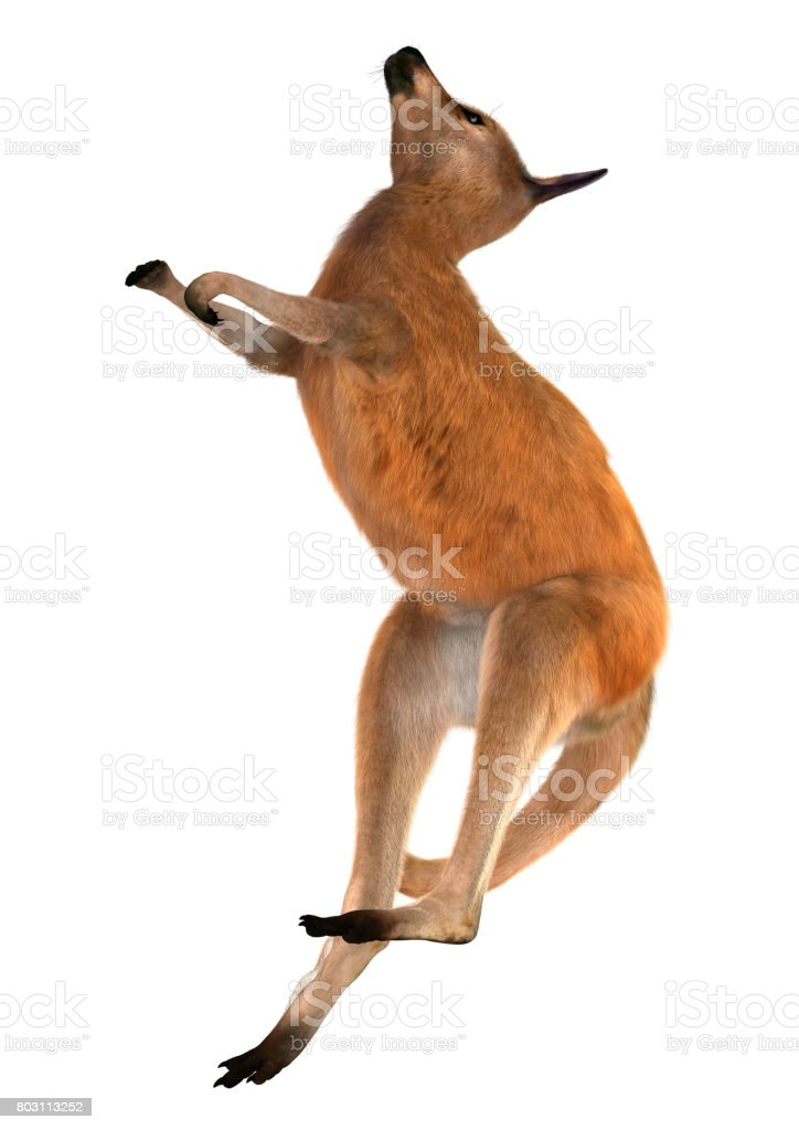 3D Rendering Red Kangaroo on White stock photo