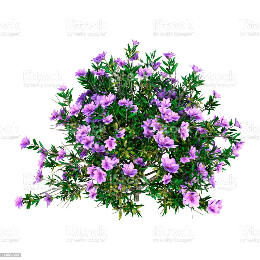 3D Rendering Rhododendron on White stock photo