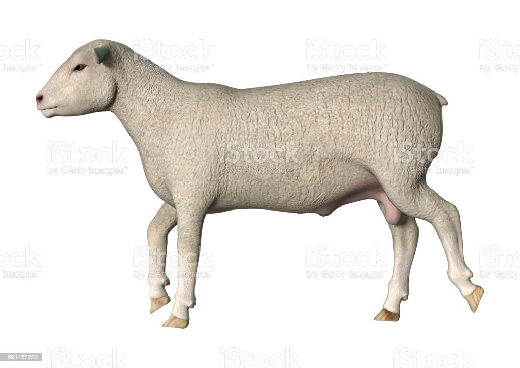 3D Rendering Sheep on White stock photo