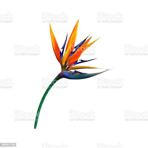 Rendering strelitzia or bird of paradise flower on white picture id694811752?b=1&k=6&m=694811752&s=612x612&h= wpd2 t  1hngczl3fapoas43r9kavoqsnfcvchi6ri=