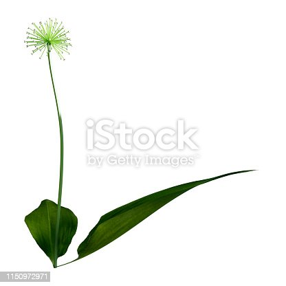 3D illustration of a wild garlic plant or Allium ursinum isolated on white background