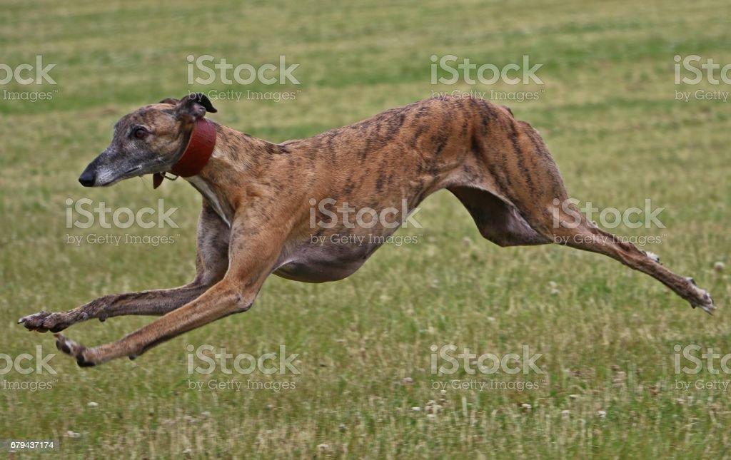 rennender windhund stock photo
