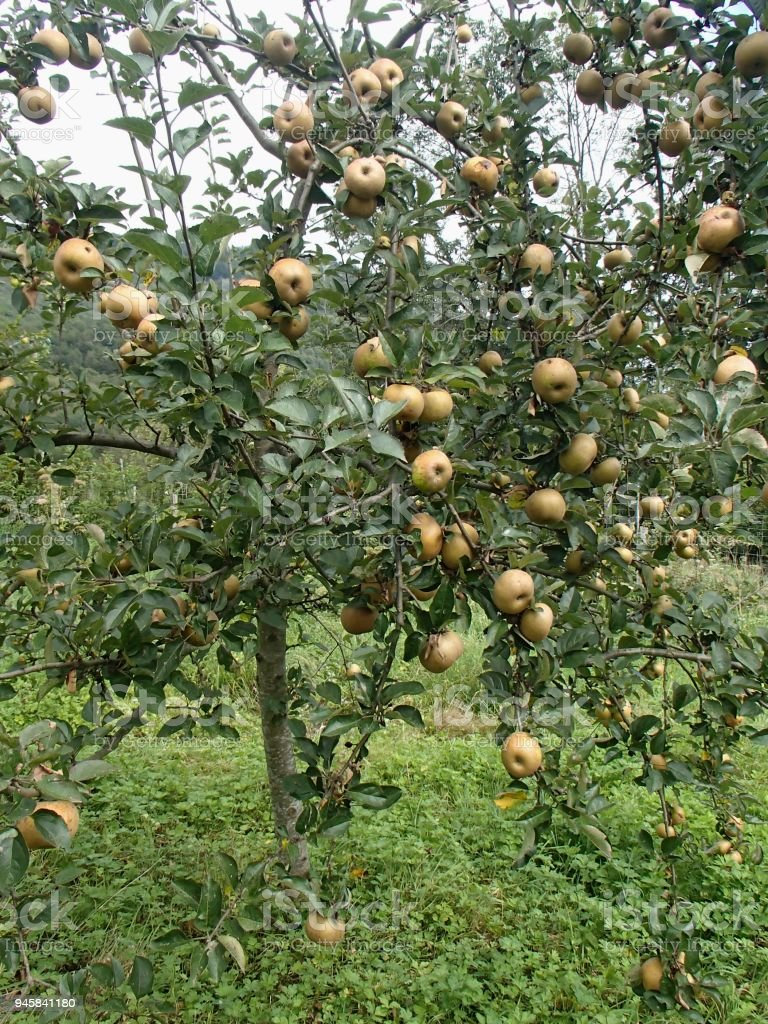 Rennet Apple Fruity Tree in Organic Orchard stock photo
