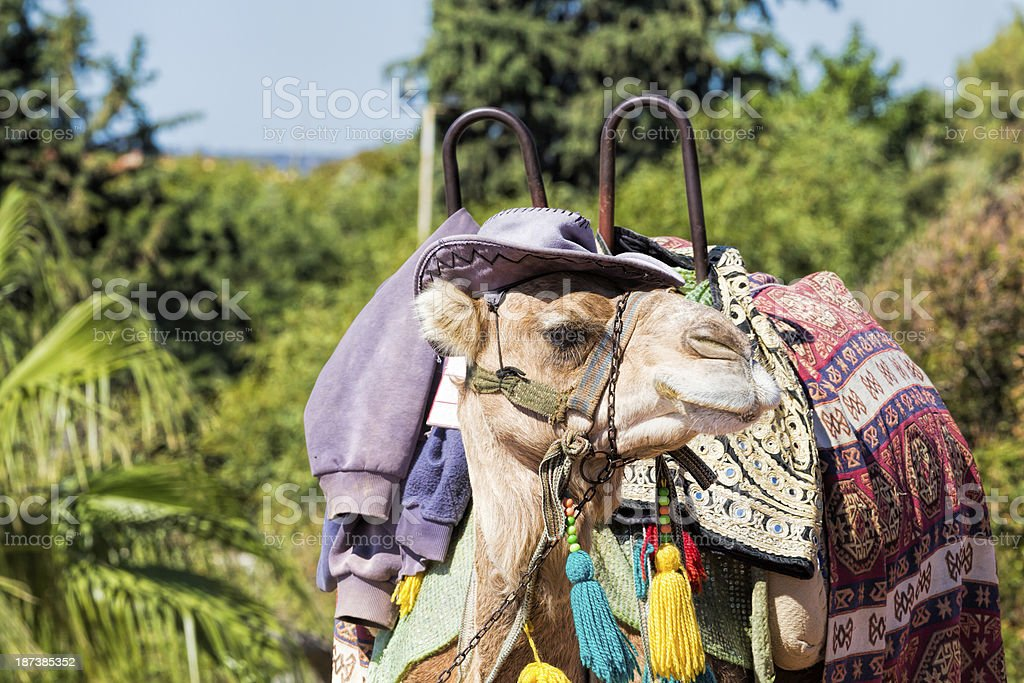Rental Camel with hat royalty-free stock photo