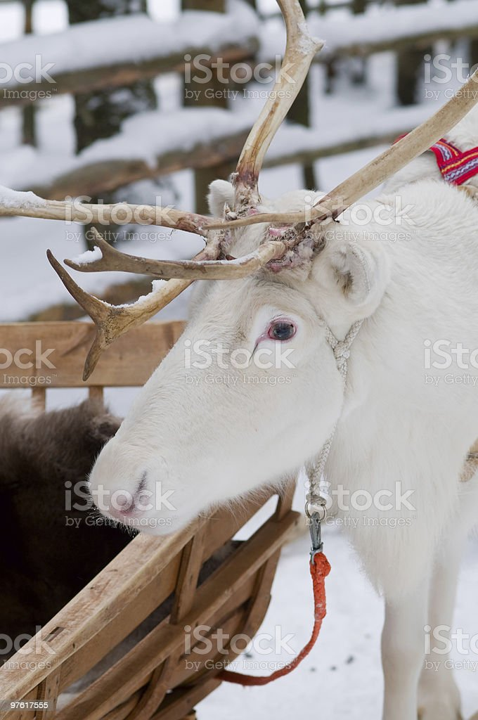 Rentier am Polarkreis - Reindeer at the polar circle royalty-free stock photo