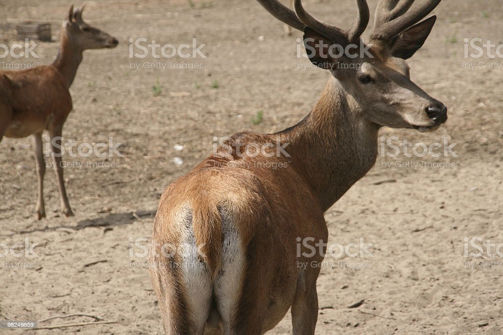 reo deer royalty-free stock photo