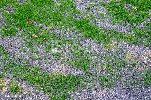 Patchy and damaged lawn, over seeded to repair it, with new grass growing, seed and pebble mixture