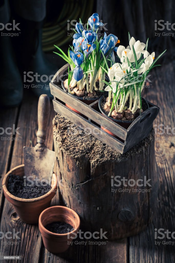 Repotting a blue hyacinth in red old clay pots stock photo