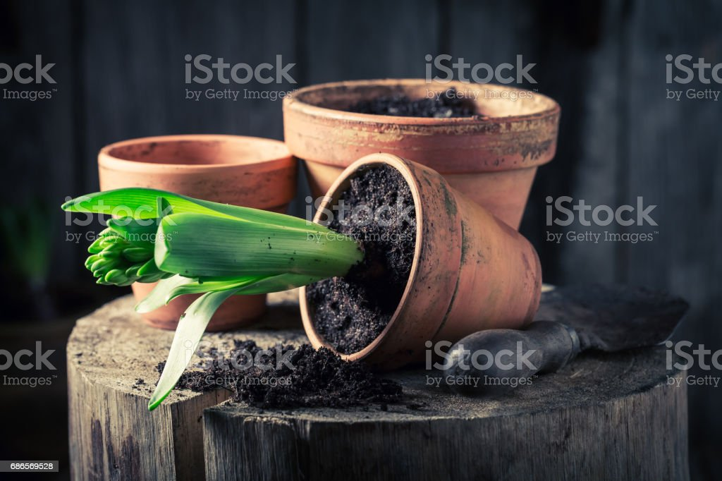 Repotting a green crocus and dark soil in clay pots royalty-free stock photo