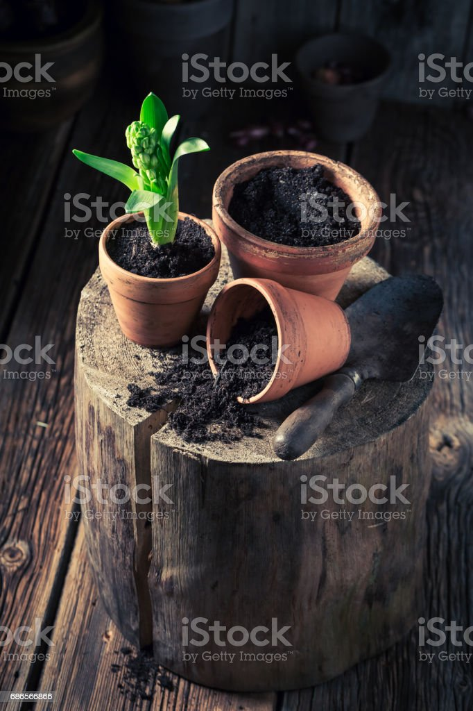 Repotting a green crocus in old red clay pots foto stock royalty-free