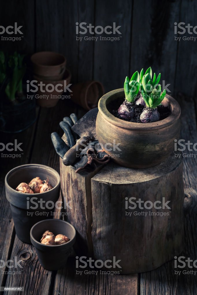 Repotting green plants in the rustic wooden cottage foto stock royalty-free