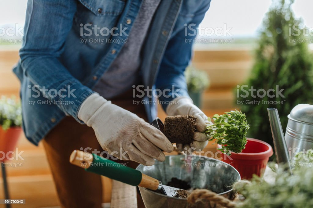 Re-Potting royalty-free stock photo