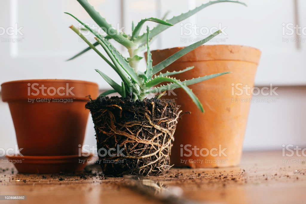 Repotting Plant Aloe Vera With Roots In Ground Repot To