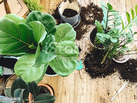 Repotting plants at home. Ficus Fiddle Leaf Fig tree and zamioculcas plants on floor with pots, roots, ground and gardening tools. Potting or transplanting plants. Houseplant.