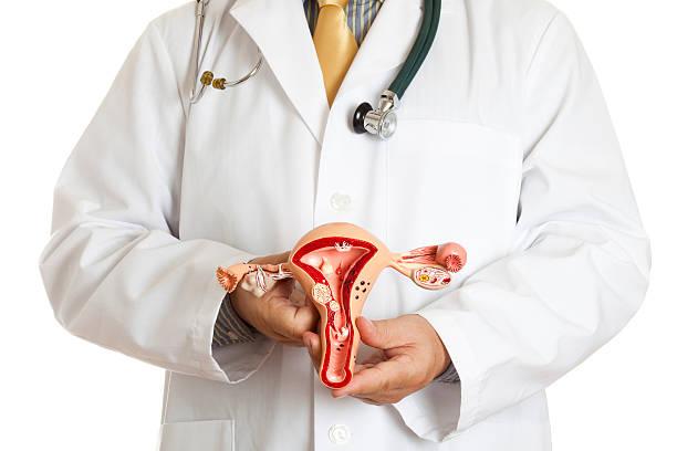 Reproductive organ model stock photo