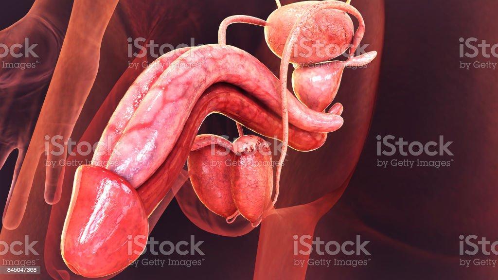 Fotografía de Concepto Médico De Sistema Reproductor Masculino 3d ...