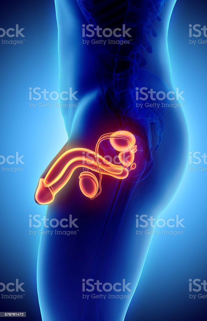 Reproductive system male, medical concept. stock photo