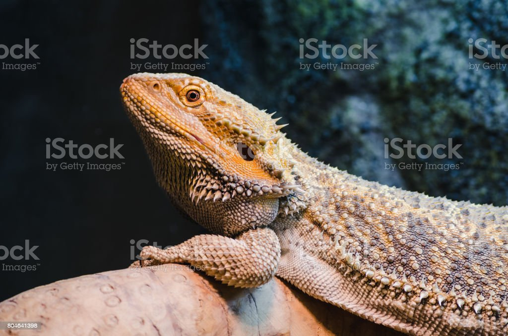 Reptil Haustier bärtigen Drachen Aalen – Foto