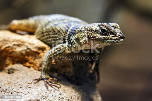 Reptile on a rock