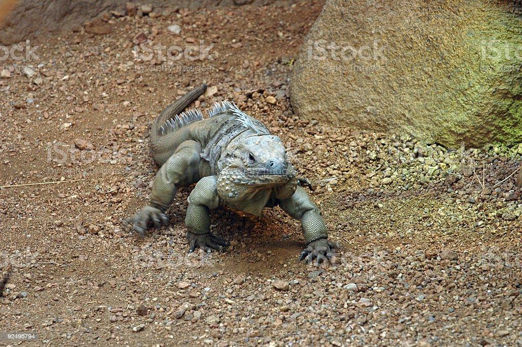 Reptile royalty-free stock photo