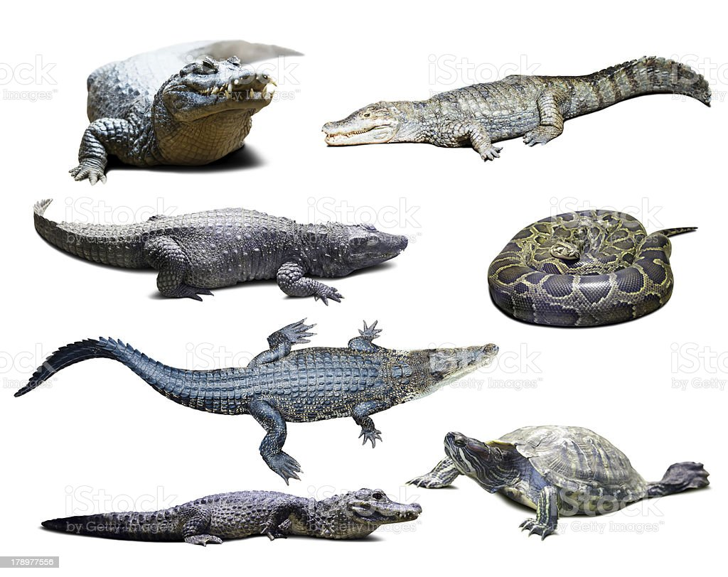 reptiles over white  with shade stock photo