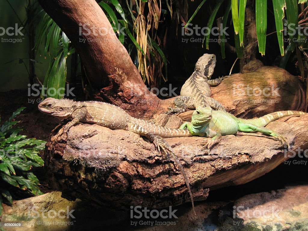 3 Reptiles waiting for dinner royalty-free stock photo